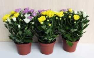 Как выращивать хризантемы в домашних условиях в горшке для начинающих?