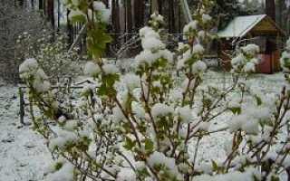 Как выращивать смородину из черенков в домашних условиях?