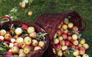 Лучшие сорта поздних яблок