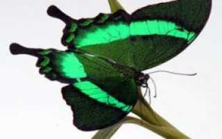 Как в домашних условиях выращивать бабочек?