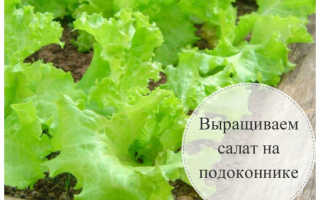 Как выращивать листья салата в домашних условиях зимой?
