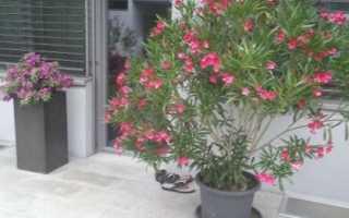Как выращивать олеандр в домашних условиях?