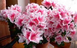 Можно ли выращивать рододендрон в домашних условиях?