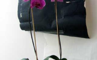 Как выращивать орхидею в домашних?