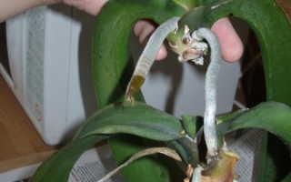 Как выращивать орхидеи в домашних условиях и размножение?