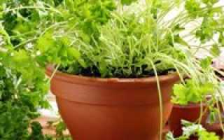 Как в домашних условиях выращивать петрушку в?