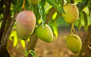 Выращиваем манго из косточки в домашних