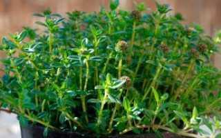 Как выращивать чабер в домашних условиях?
