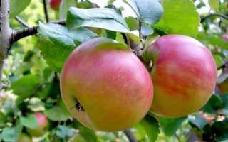 Яблоня лучшие сорта подмосковье