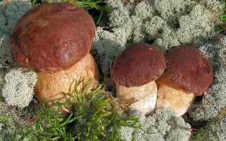 Почему белые грибы нельзя выращивать как шампиньоны?