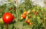 Как правильно выращивать рассаду помидор в теплице?