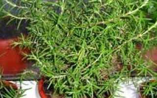 Как правильно выращивать розмарин на подоконнике?