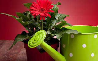 Как выращивать герберу в домашних условиях из семян?