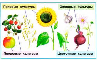 Приведите примеры растений выращиваемых в саду или огороде