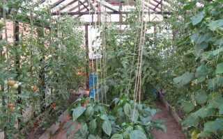 Можно ли выращивать арбузы в теплице вместе с огурцами?