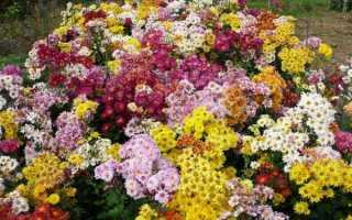 Как правильно выращивать кустовую хризантему для срезки?
