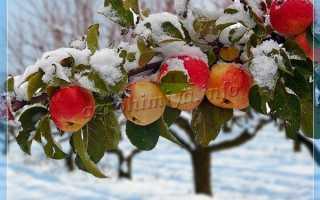 Лучшие сорта зимней яблони