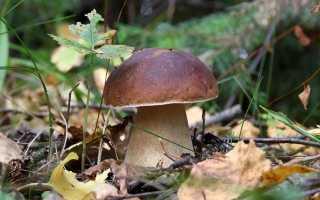 Как выращивают белые грибы в промышленных масштабах?