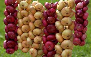 Как правильно выращивать лук на головку из севка?