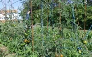 Как выращивать помидоры в открытом грунте в подмосковье?
