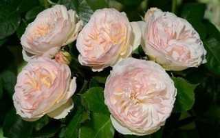 Десять лучших сортов роз