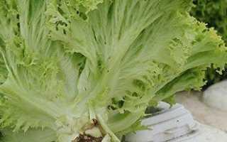 Выращивать салат в домашних условиях