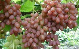 Лучшие сорта бессемянного винограда