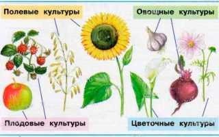 Примеры полевых культур выращиваемых в московской области