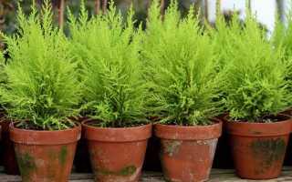 Как в домашних условиях выращивать кипарис?