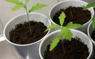 Как выращивать желудь в домашних условиях?