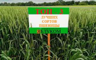 Лучший сорт пшеницы