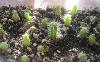 Как выращивать кактус из семян в домашних условиях?