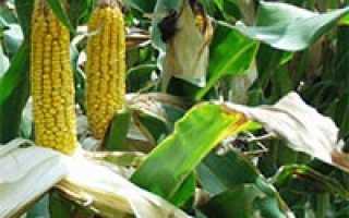 Для чего выращивают кукурузу в сельском хозяйстве