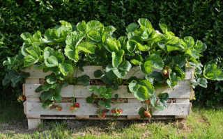 Как лучше выращивать клубнику на высоких грядках?