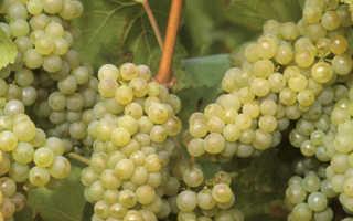 Виноград какой сорт лучше