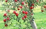 Хорошие сорта яблони