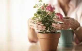 Как выращивать роза в домашних условиях?