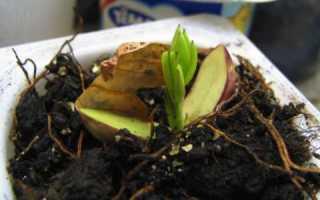 Как выращивать земляной орех в домашних условиях?