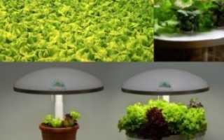 Как выращивать лист салата в домашних условиях?