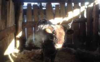 Выращиваем бычков в домашних условиях