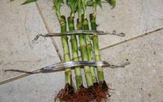 Как правильно выращивать бамбук в домашних условиях?