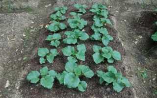 Как выращивать кустовые огурцы в открытом грунте?