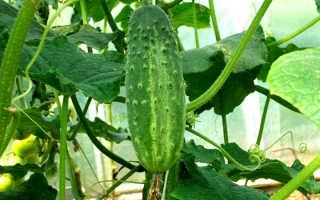 Как выращивать огурцы в теплице вместе с помидорами?