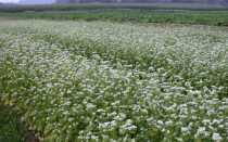 В каких регионах россии выращивают гречку в россии