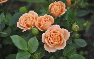 Лучшие сорта карликовых роз