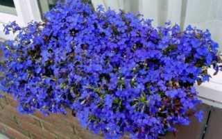 Как выращивать рассаду лобелии в домашних условиях?