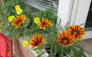 Как выращивать гацанию из семян в домашних условиях?