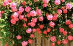 Лучшие сорта плетистая роза
