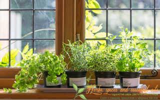 Какие пряные травы можно выращивать на подоконнике?