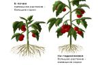 Как правильно выращивать гидропон в домашних условиях?